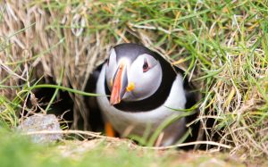 Try Not to Smile at These Adorable Faroe Island Puffins