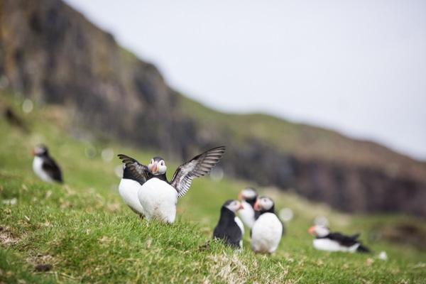 Faroe Island Puffins. Photo by Christine Chang. www.christinechangphoto.com